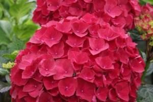 hydrangea-flowers image