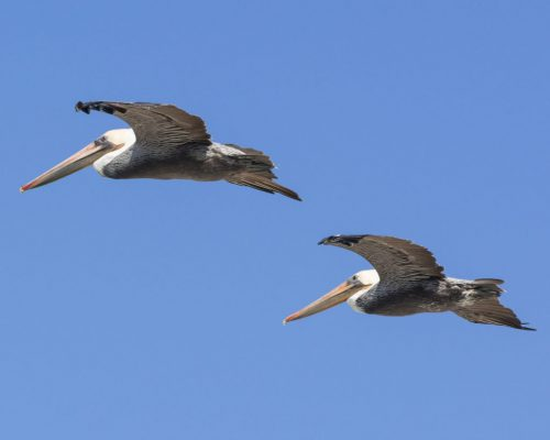 Brown Pelican's - Virtual Survey