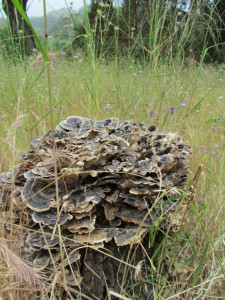 An old tree stump covered in fungi