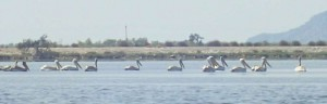 The Pelicans of Petalas (thank you Anne for the photo)
