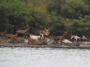 The goats of Igoumenitsa
