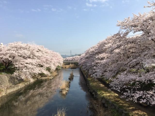 やどまる美祢/みね桜まつりの桜