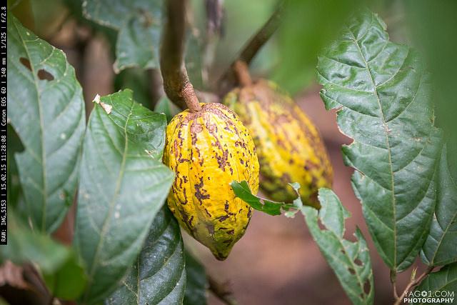 Cacao_Bolivia_16504327218_a19d471ee1_z