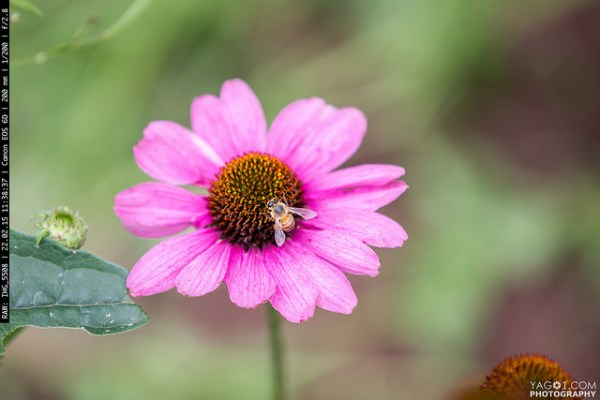 Pink Flower Bee - insect