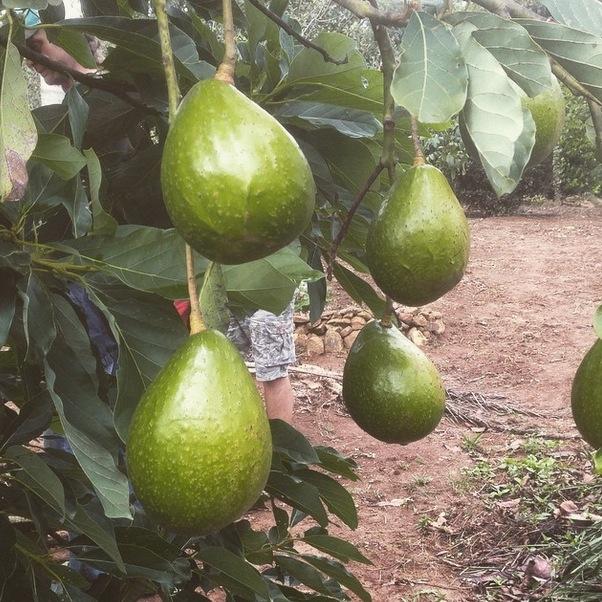 Avocado_Palta_Aguacate_3