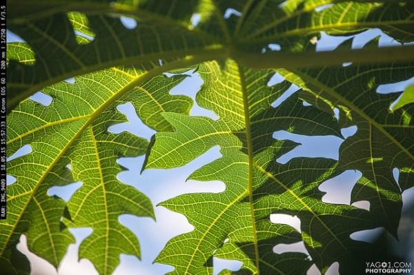 Green Papaya Leaf