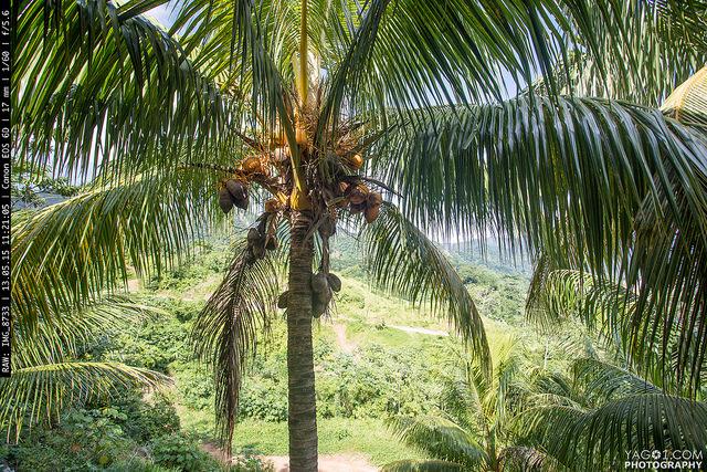 Rurrenabaque Coconuts