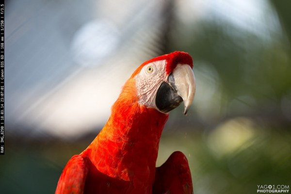 Amazon Animal RedMacaw_Bird