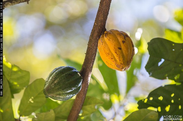 Amazon Cacao
