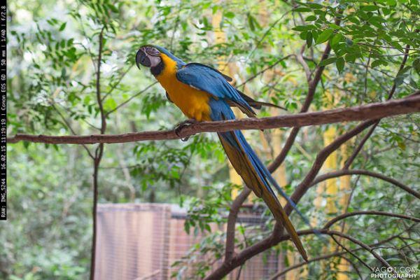 Amazon Parrot Bird