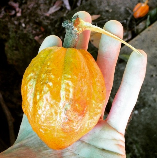 Cacao_Fruit