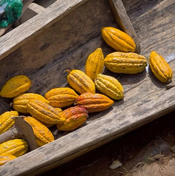 Cacao_Fruits