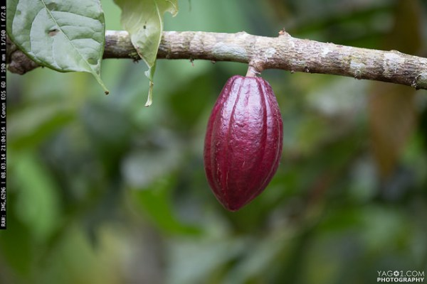 Red Cacao fruit