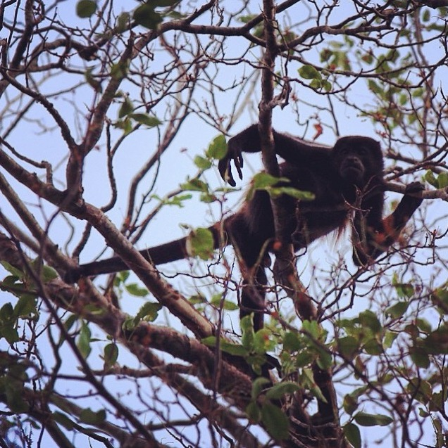 CostaRica_Monkey