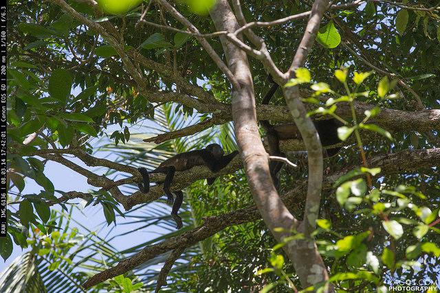 Los monos del Parque Nacional Cahuita