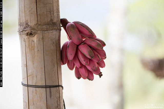 Sweet dwarf red bananas