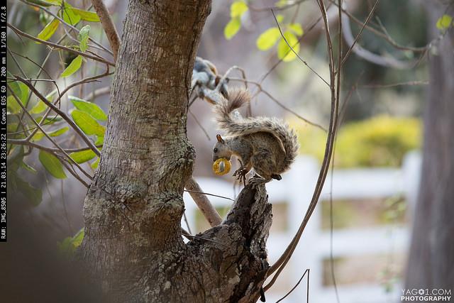 Tico squirrel from Costa Rica