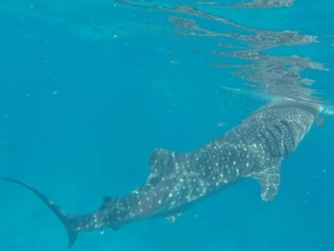 Philippines Oslob requin baleine