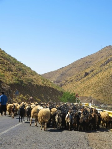 Iran Kurdistan moutons