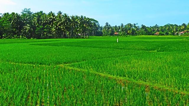 Java Batu Karas rizières