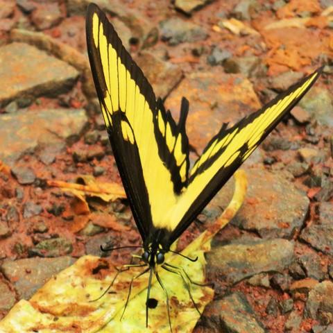 Argentine Chutes d'Iguazu papillon