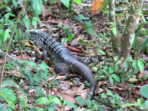 Argentine Chutes d'Iguazu iguane