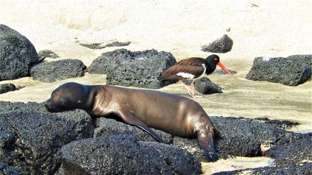 Galapagos ile Floreana lion de mer