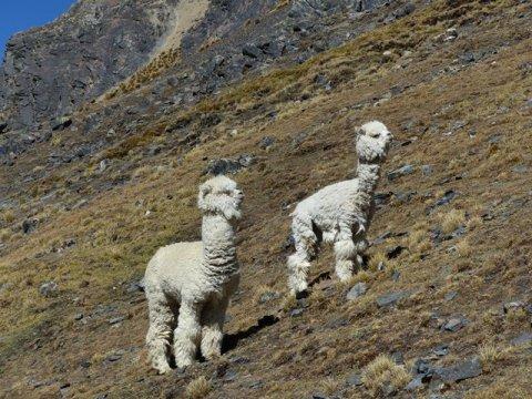 Bolivie Trek Laguna Chiar Khota lamas