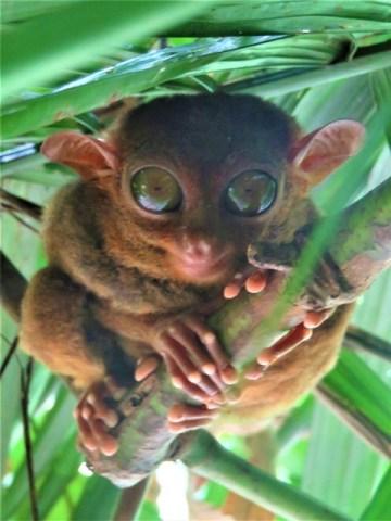 Philippines Bohol tarsier