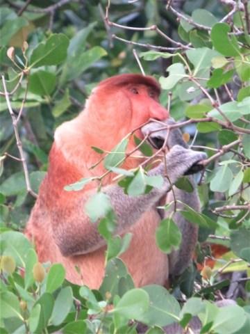 Bornéo Parc Zones Humides singe nasique