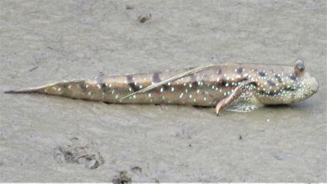 Bornéo Parc Zones Humides gobie