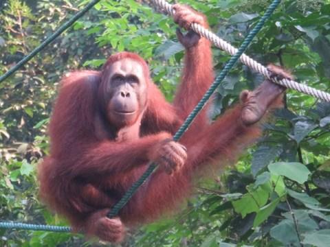 Bornéo Semenggoh orangs-outans