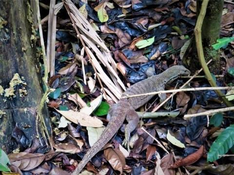 Singapour résevoir MacRitchie varan