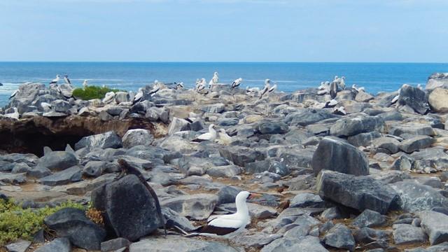 Galapagos ile Espanola oiseaux de Nazca