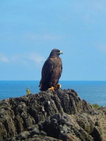 Galapagos ile Espanola faucon