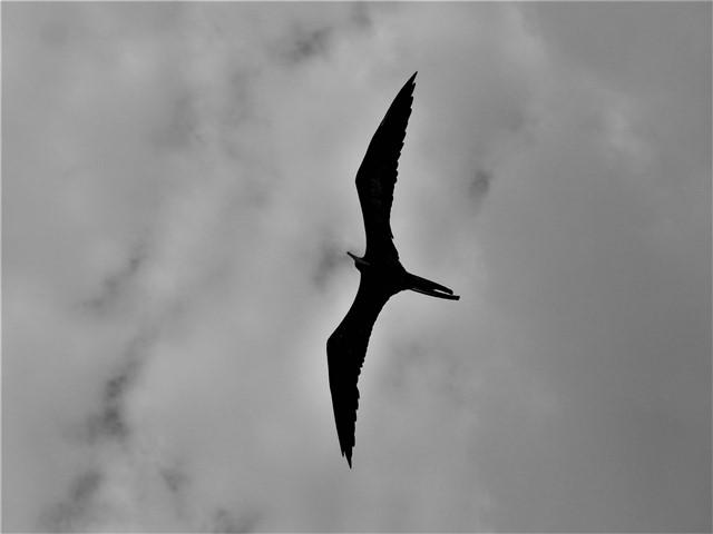 Galapagos ile Espanola oiseau