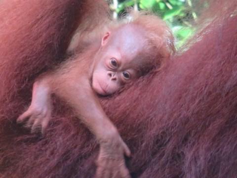 Bornéo Semenggoh bébé orang-outan