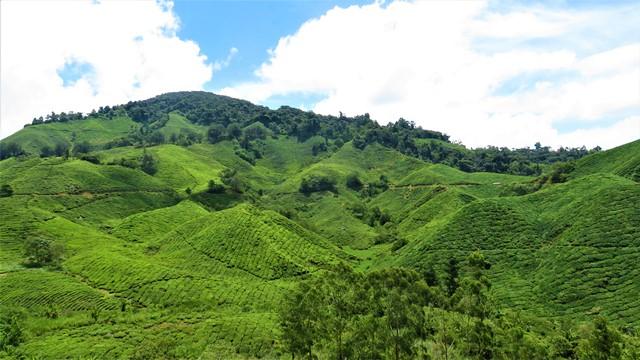 Malaisie Cameron Highlands thé