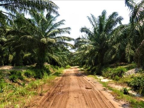 Bornéo Miri huile de plame palmiers