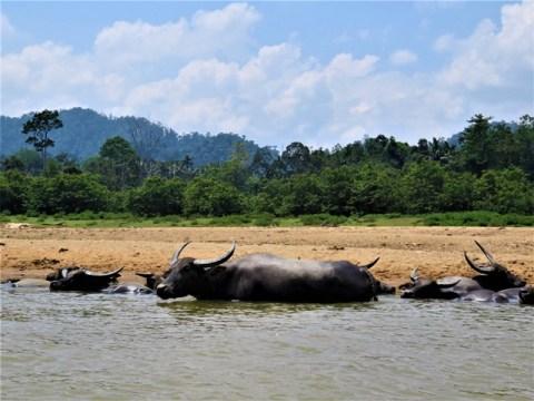 Malaisie Taman Negara buffles