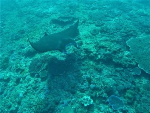 Nusa Penida raie manta snorkeling