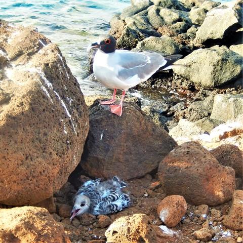 Galapagos ile Seymour oiseaux