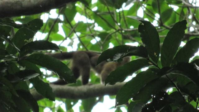 Colombie Parc Tayrona singe