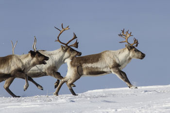 Santas Reindeer At Risk Yale Climate Connections