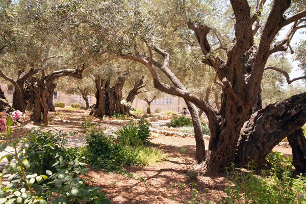 ancient olive trees in Jerusalem's Garden of Gethsemane, photo by Noam Chen