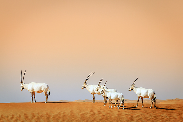 Arabian Oryx near Dubai