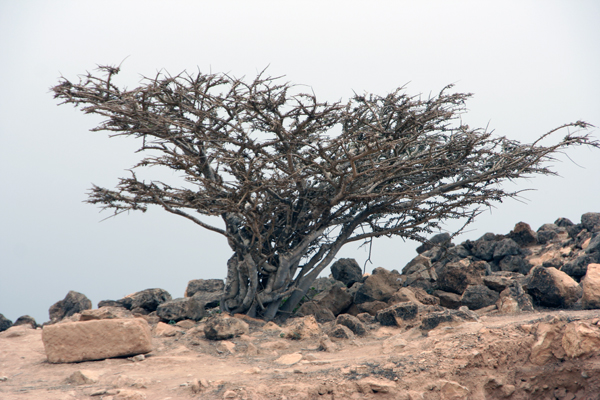 Franincense tree near Salalah