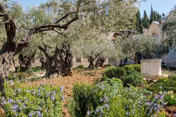 the Garden of Gethsemane on the Mount of Olives in Jerusalem, where Jesus prayed before being arrested, photo by Derek Winterburn, courtesy of Israel Ministry of Tourism