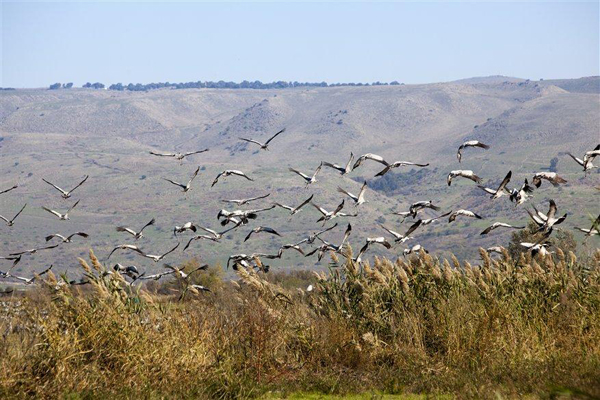 cranes in the Hula Valley, photo by Itamar Grinberg, courtesy of IMOT