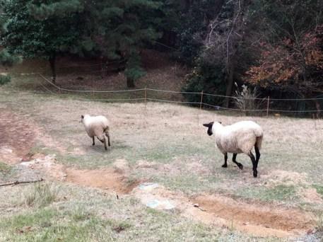 除了白色的綿羊,還有這種黑皮白毛的,我第一次看到活的!